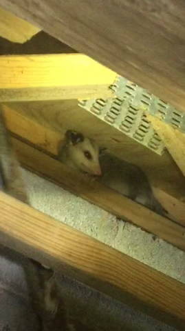 One of seven possums found in crawl space